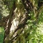 ひょうたん池 変な木