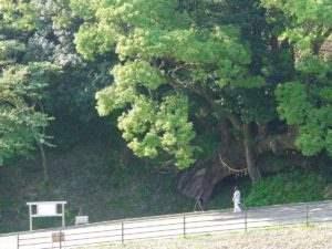 しまばら芝桜公園 大楠