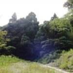 眉山 杉の元スギ