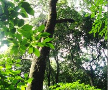 保存樹 杉の元スギ