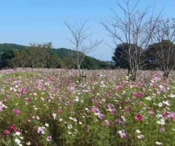 しまばら芝桜公園「秋桜まつり」