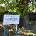 旧大野木場小学校 いちょうの木