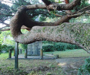 霊丘公園 変な木