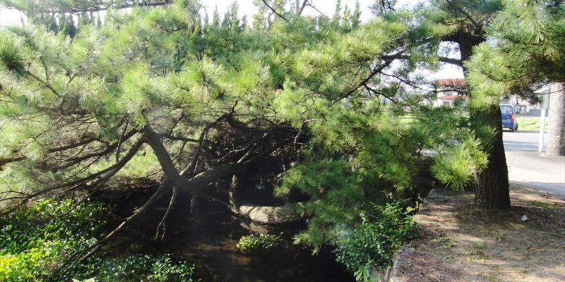 猛島神社の変な木