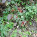 シマバライチゴ
