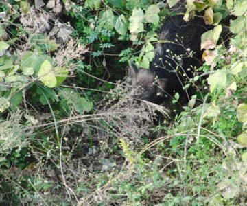 砂防ダムから猪撮影