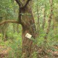眉山の森遊歩道 シリブカガシ