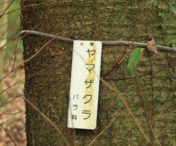眉山の森遊歩道 ヤマザクラ
