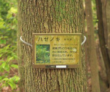 眉山の森遊歩道 ハゼノキ