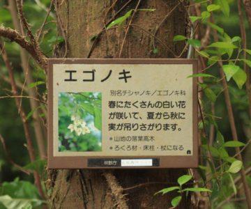 眉山の森遊歩道 エゴノキ