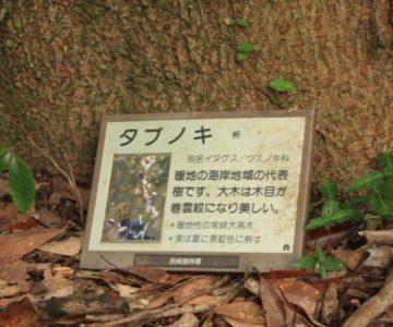 眉山の森遊歩道 タブノキ