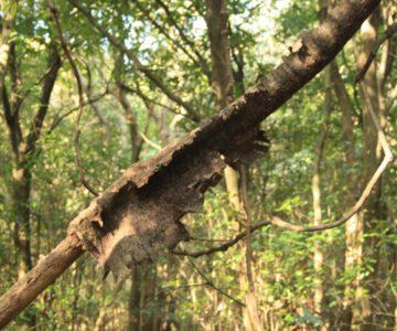 脱皮中の木