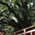 瓢箪畑稲荷神社 神木