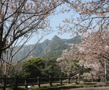 島原総合運動公園 桜