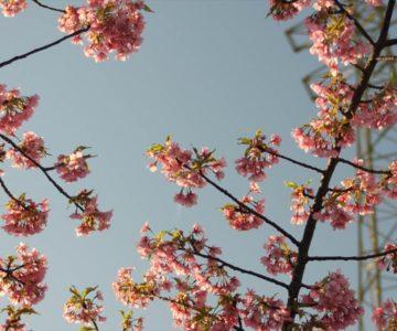 島原第二中学校 桜