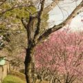 島原総合運追公園 桜