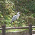 ひょうたん池公園 サギ