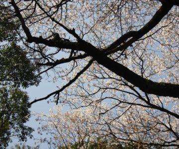 保存樹 山の神サクラ
