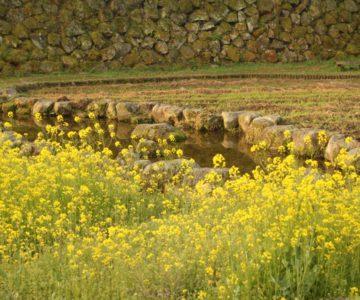 島原城 お堀 菜の花