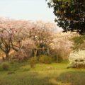 島原城 ホタルのお堀 桜