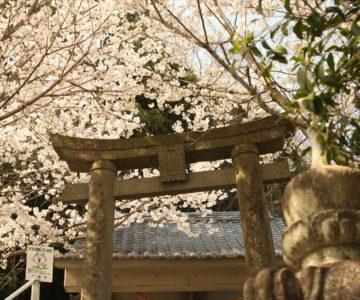折橋神社 桜