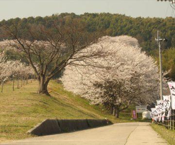 しまばら火張山花公園 桜