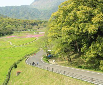 しまばら火張山花公園 双子の大楠