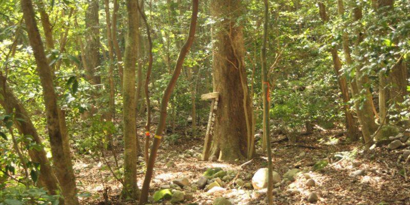 保存樹 七面ケヤキ