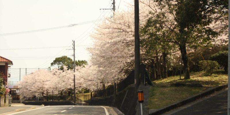総合運動公園 桜