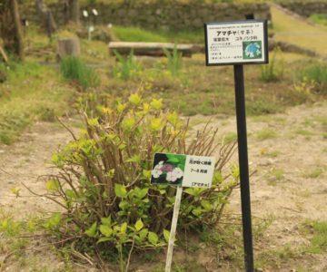 島原藩薬園 アマチャ