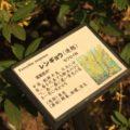 島原藩薬園 レンギョウ