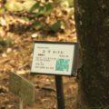 島原藩薬園 コブシ