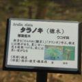 島原藩薬園 タラノキ