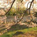 島原城 朝焼け 桜
