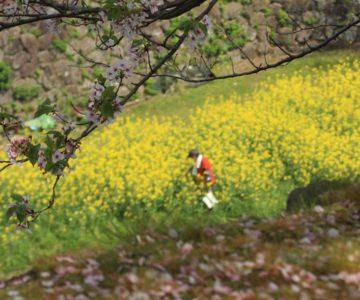 島原城 菜の花
