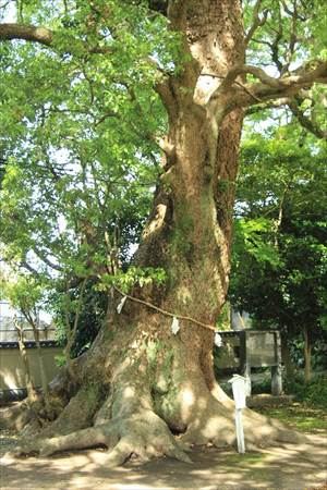 諏訪神社 神木
