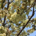 島原城 緑の桜