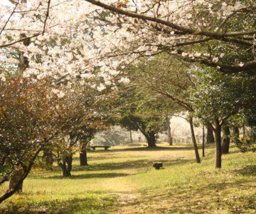 島原総合運動公園 多目的芝生広場 桜