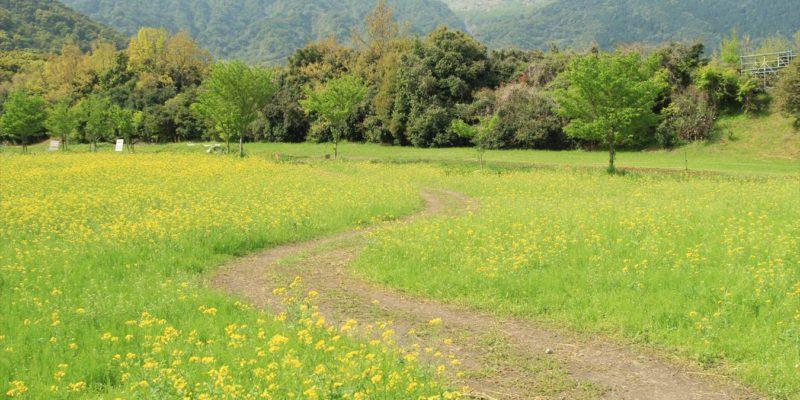 しまばら火張山花公園 ブランコ 菜の花