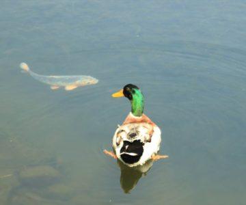 ひょうたん池公園 アヒル 鯉