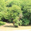 ひょうたん池公園 あこうの木