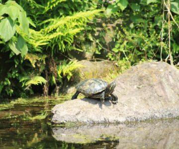 ひょうたん池公園 カメ