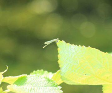 ひょうたん池公園 カゲロウ