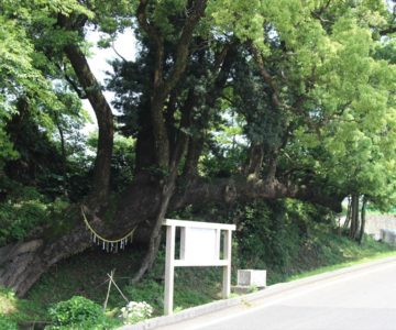 火張山花公園 双子の大楠
