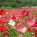 火張山花公園 春の花まつり ポピー