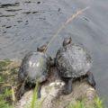 ひょうたん池公園 亀
