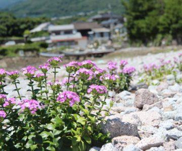 秩父が浦公園 紫の花
