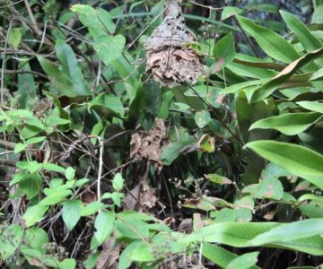 焼山遊歩道 スズメバチの巣