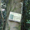 眉山の森遊歩道 ユズリハ