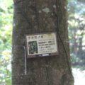 眉山の森遊歩道 ナナミノキ